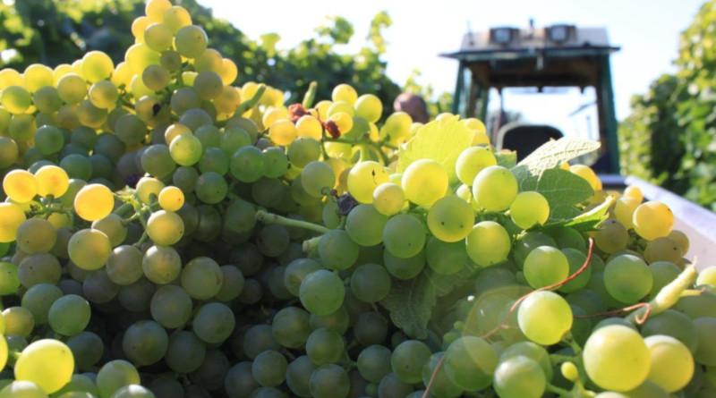Weinjahrgang 2019: Großes Potenzial im Keller